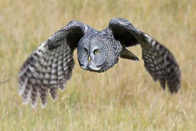 A Great Gray Owl's Wings are Preparing to Expand Out-Barrett Hedges-Photographic Print