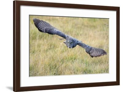 A Great Gray Owl Soars Through a Field-Barrett Hedges-Framed Photographic Print