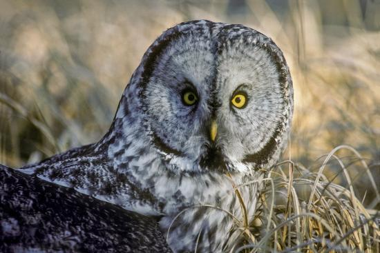 A Great Gray Owl Stares at the Camera-Tom Murphy-Photographic Print