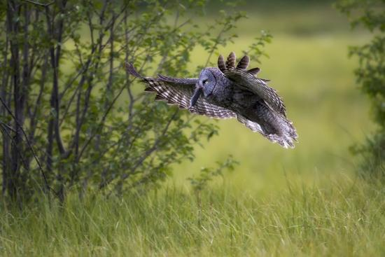 A Great Gray Owl, Strix Nebulosa, Flying with a Rodent in its Beak-Robbie George-Photographic Print