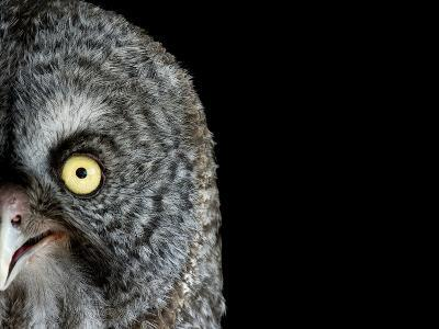 A Great Gray Owl, Strix Nebulosa-Joel Sartore-Photographic Print