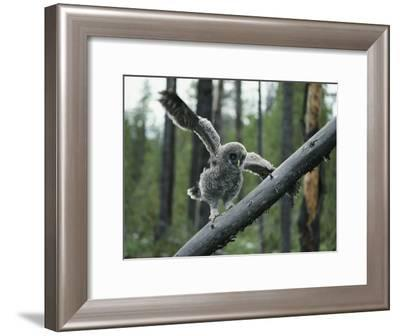 A Great Gray Owlet Uses its Wings for Balance as it Climbs a Tree-Michael S^ Quinton-Framed Photographic Print