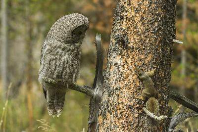 A Great Grey Owl and a Squirrel on the Same Tree Trunk Inspect Each Other-Barrett Hedges-Photographic Print