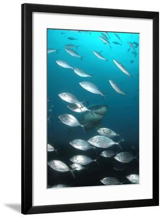 A Great White Shark, Carcharodon Carcharias, Swimming Through a School of Fish-Jeff Wildermuth-Framed Photographic Print
