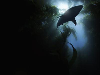 A Great White Shark (Carcharodon Carcharias)-David Fleetham-Photographic Print