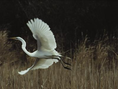 A Greater Egret Takes Flight--Photographic Print