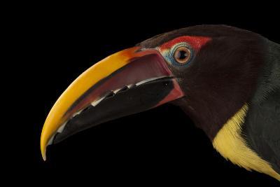 A Green Aracari, Pteroglossus Viridis, at the Houston Zoo-Joel Sartore-Photographic Print
