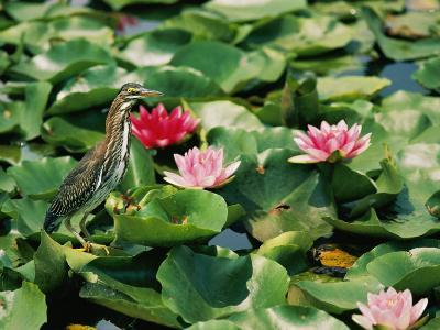 A Green-Backed Heron Sits on a Large Grouping of Lily Pads-Brian Gordon Green-Photographic Print