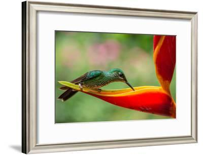 A Green-Crowned Brilliant Hummingbird Feeding-Todd Sowers Photography-Framed Photographic Print