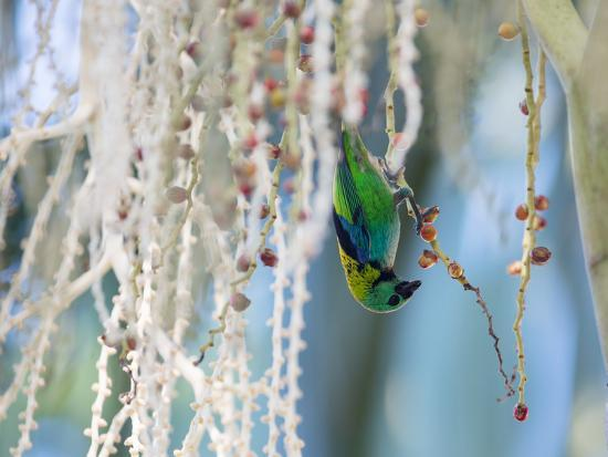 A Green-Headed Tanager Feeding on Berries of a Tree in the Atlantic Rainforest-Alex Saberi-Photographic Print