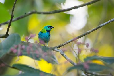 A Green-Headed Tanager Sitting on a Branch with Berries-Alex Saberi-Photographic Print