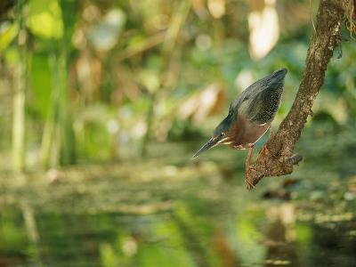A Green Heron Perched on a Branch-Roy Toft-Photographic Print