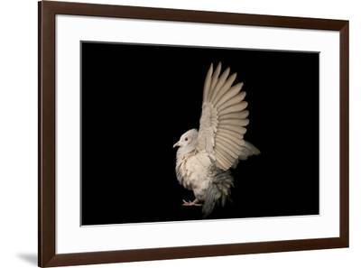 A green imperial pigeon, Ducula aenea, at Kamla Nehru Zoological Garden.-Joel Sartore-Framed Photographic Print