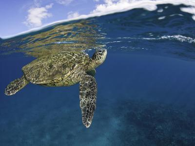 A Green Sea Turtle (Chelonia Mydas) Lifts its Head to the Surface for a Breath-David Fleetham-Photographic Print