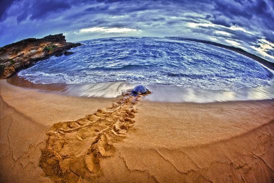 A Green Sea Turtle Entering Kawaloa Bay at Sunrise, Molokai Island-Richard Cooke-Photographic Print
