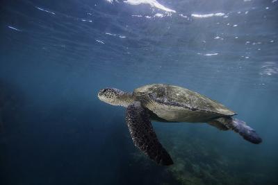 A Green Sea Turtle Swimming Underwater-Jad Davenport-Photographic Print