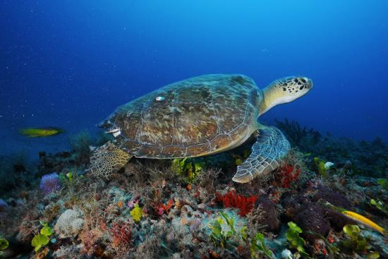 A Green Sea Turtle Swims Off the Esso Bonaire Shipwreck Artificial Reef-David Doubilet-Photographic Print