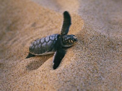A Green Turtle Hatchling Struggling from its Nest in the Sand-Wolcott Henry-Photographic Print