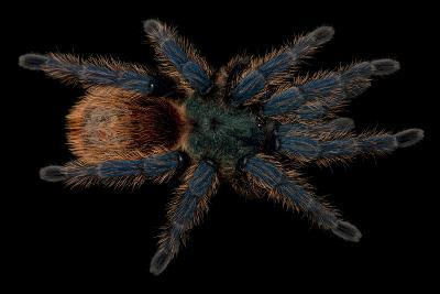 A Greenbottle Blue Tarantula at the Lincoln Children's Zoo-Joel Sartore-Photographic Print