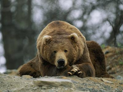 A Grizzly Bear at Rest on the Edge of the Larson Bay Dump-Joel Sartore-Photographic Print