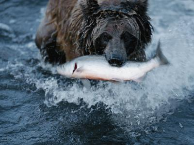 A Grizzly Bear Carries its Freshly Caught Salmon to Shore-Joel Sartore-Photographic Print