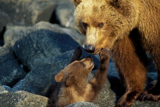 A Grizzly Bear Cub Nuzzles its Mother-Tom Murphy-Photographic Print