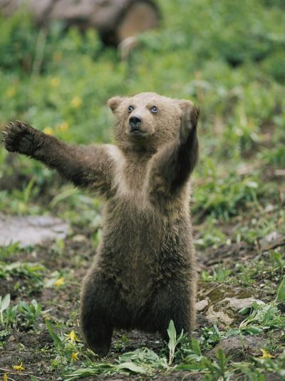 A Grizzly Bear Cub Stands with Arms Outstretched-Tom Murphy-Photographic Print