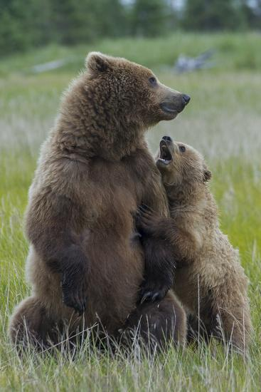 A Grizzly Bear Cub, Ursus Arctos Horribilis, Shows its Teeth to its Mother-Barrett Hedges-Photographic Print