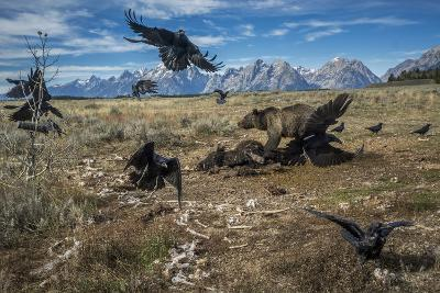 A grizzly bear fends off ravens to feed on a bison carcass.-Charlie Hamilton James-Photographic Print