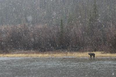 A Grizzly Bear Fishes at the Fishing Branch River in the Rain-Cristina Mittermeier-Photographic Print