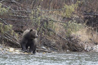 A Grizzly Bear Fishes at the Fishing Branch River-Cristina Mittermeier-Photographic Print