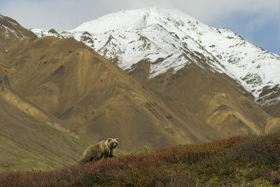 A Grizzly Bear Hunts for Berries on a Ridge with a Snowcapped Denali in the Distance-Barrett Hedges-Photographic Print