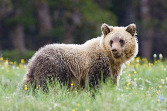 A Grizzly Bear Juvenile Standing in Summer Wildflower Field-Tom Murphy-Photographic Print
