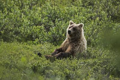 A Grizzly Bear Sitting in Denali National Park and Preserve-Aaron Huey-Photographic Print