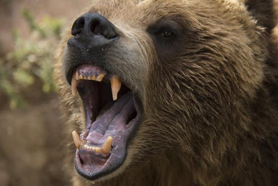 A Grizzly Bear Snarling at the Cheyenne Mountain Zoo-Joel Sartore-Photographic Print