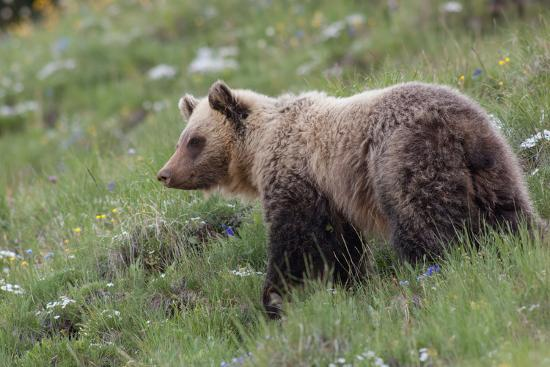A Grizzly Bear Standing on a Hillside in a Field of Wildflowers-Tom Murphy-Photographic Print