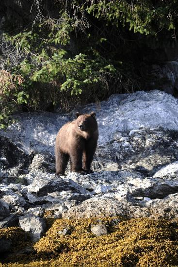 A Grizzly Bear, Ursus Arctos, Foraging on a Rocky Shore-Jeff Wildermuth-Photographic Print