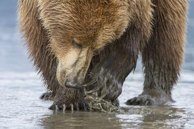A Grizzly Bear, Ursus Arctos Horribilis, Opening a Clam with its Claws-Barrett Hedges-Photographic Print