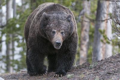 A Grizzly Bear, Ursus Arctos Horribilis, Walks on a Trail-Barrett Hedges-Photographic Print