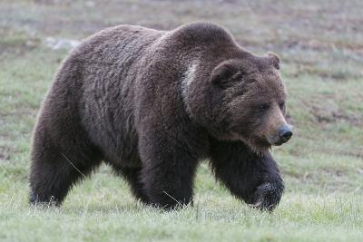 A Grizzly Bear, Ursus Arctos Horribilis, Walks Through a Field of Short Grass-Barrett Hedges-Photographic Print