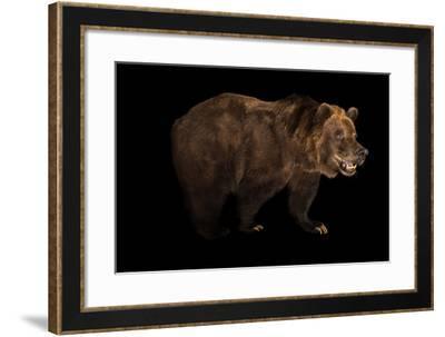 A Grizzly Bear, Ursus Arctos Horribilis.-Joel Sartore-Framed Photographic Print