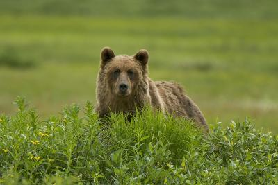 A Grizzly Bear, Ursus Arctos, Stands in the Area of the Sacred Headwaters-Paul Colangelo-Photographic Print