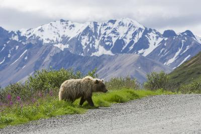 A Grizzly Bear, Ursus Arctos, Walks onto the Road in Denali National Park-Barrett Hedges-Photographic Print