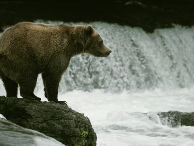 A Grizzly Bear Waits Patiently Near a Waterfall for Passing Fish-Tom Murphy-Photographic Print