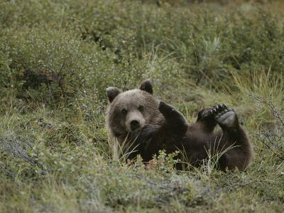 A Grizzly Lounges in a Humorous Position-Michael S^ Quinton-Photographic Print