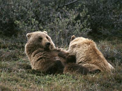 A Grizzly Mother and Her Cub Lounge Together-Michael S^ Quinton-Photographic Print