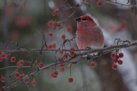 A Grosbeak Perches on a Tree Branch in Grand Teton National Park-Charlie James-Photographic Print