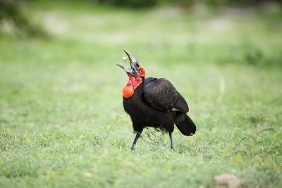 A Ground Hornbill Eats a Frog-Richard Du Toit-Photographic Print