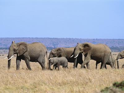 A Group of African Elephants-Norbert Rosing-Photographic Print