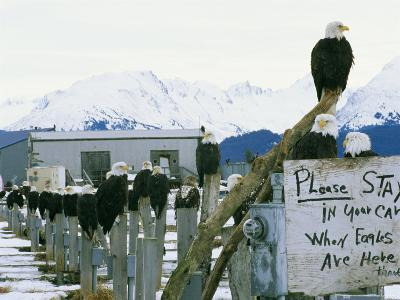 A Group of American Bald Eagles Perch on Posts-Klaus Nigge-Photographic Print